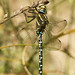 Small photo of Aeshna juncea