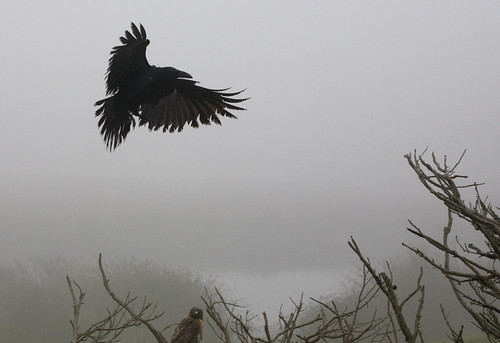 crow and hawk