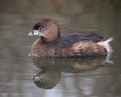 Pied-billed Grebe - Photo (c) Len Blumin, some rights reserved (CC BY)