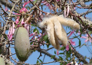 Silk floss tree fruit, before and after opening