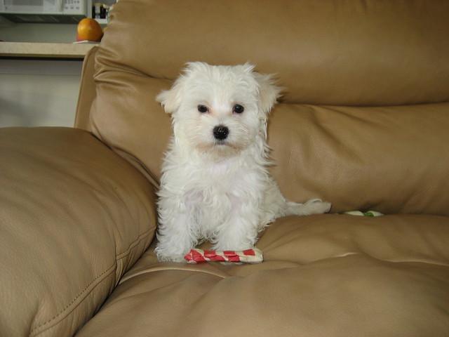 cute maltese puppies   Flickr - Photo Sharing!