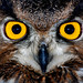 Eagle owl eyes by floridapfe
