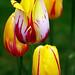 Boston Public Garden - Tulips