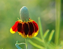 Mature Clasping-leaved Coneflower