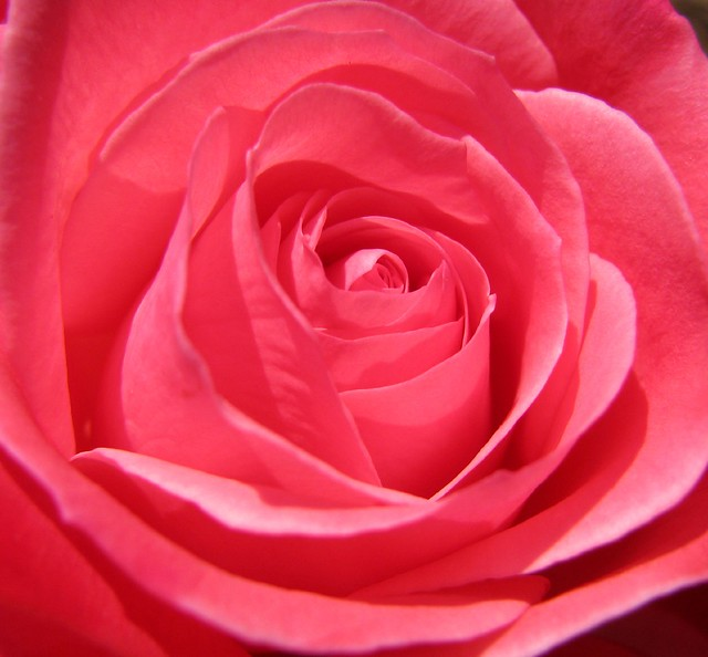 'Milestone', hybrid tea rose