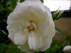 blossom(0.0), peony(0.0), floribunda(1.0), flower(1.0), plant(1.0), macro photography(1.0), flora(1.0), gardenia(1.0), petal(1.0),