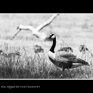 portrait of a geese... my family are busy looking for some food ;-)