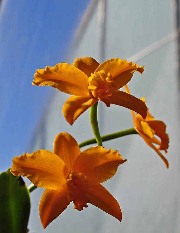 x Sophrolaeliocattleya 'Orglade's Early Harvest'