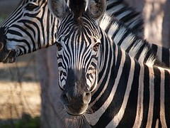 animal(1.0), mane(1.0), zebra(1.0), mammal(1.0), fauna(1.0), close-up(1.0), safari(1.0), wildlife(1.0),