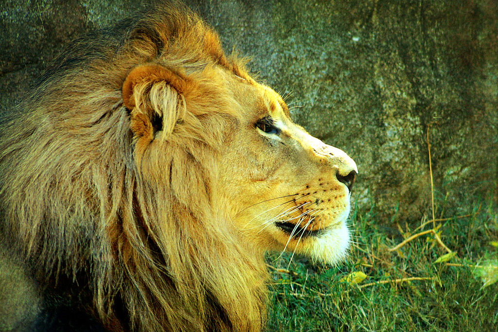 Lion Head Side View
