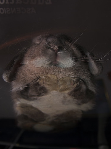 pet rabbit bunny animal mammal singapore opal 兔 hollandlop andora 兎 lagomorph thechicken tamronspaf1750mmf28xrdiiildasphericalif opalhollandlop