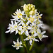 Fremont's Deathcamas - Photo (c) Ken-ichi Ueda, some rights reserved (CC BY-NC-SA)
