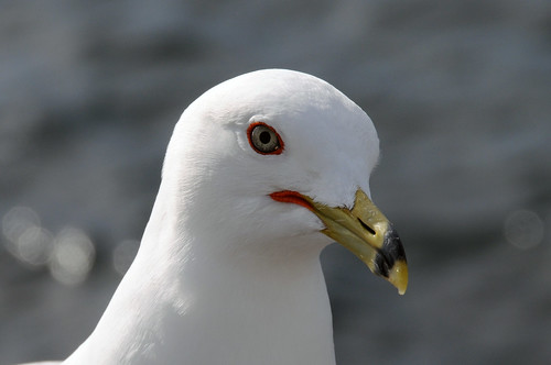 Ring-billed Gull ... Larus Delawarensis