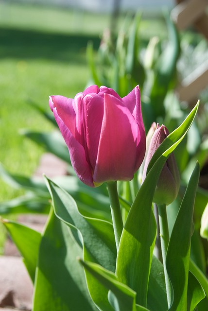 First tulip of season tulips are opening the latest we for What season are tulips