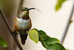 Hummingbird. _H623558