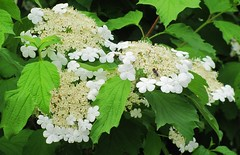 flower, leaf, guelder rose, hydrangea serrata,