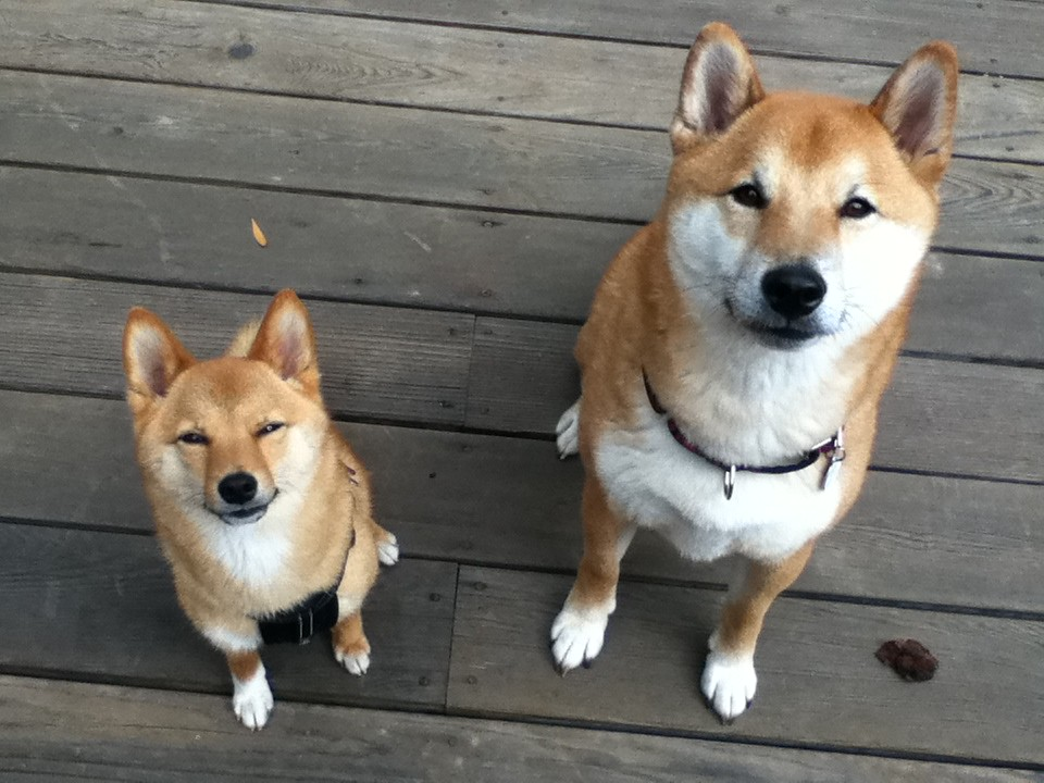 taro and zuko on the backyard wood deck 5