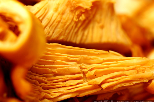 Cantharellus (Chanterelle) mushrooms sliced for tonight's dinner  MG 5557
