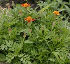 annual plant, flower, plant, subshrub, herb,