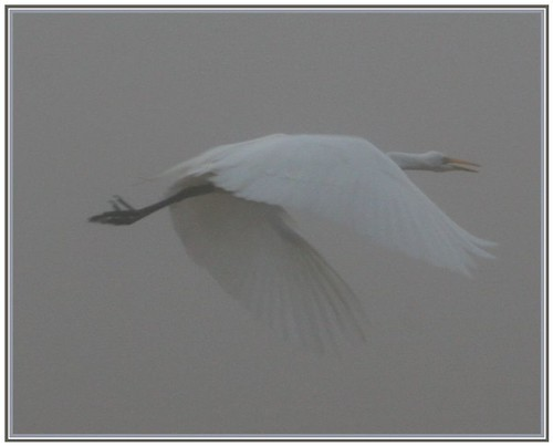 Fog...Great Egret