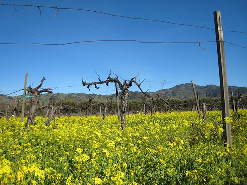 napa, mustard, old vines IMG_1369