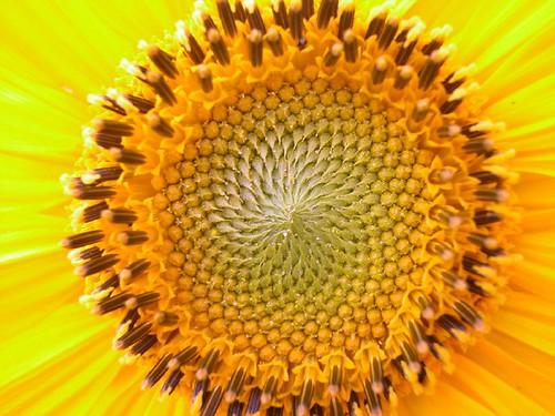Sunflower Fibonacci Spiral