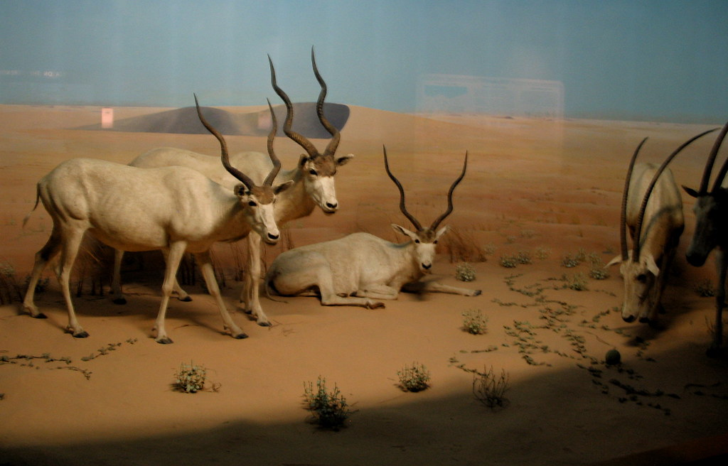 Desert of Borkou diorama, pt  2 | On the left, more addax  O
