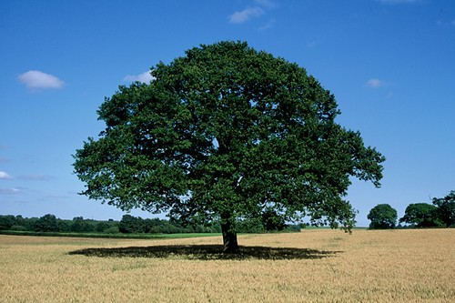 """Majestic Tree"", near Ellesmere, Shropshire, UK"