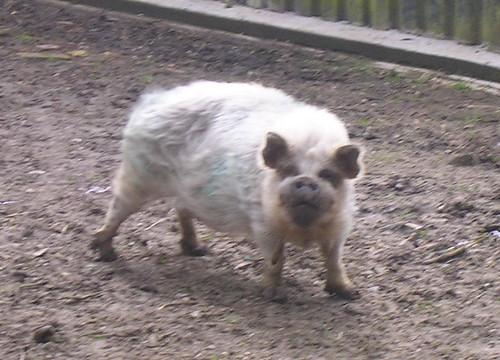 Scruffy pig
