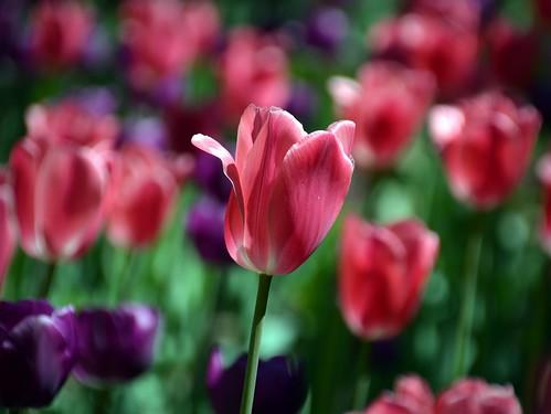 無料写真素材, 花・植物, チューリップ
