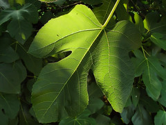 Sunlight Through The Fig Leaf