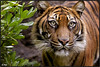 Female Sumatran Tiger