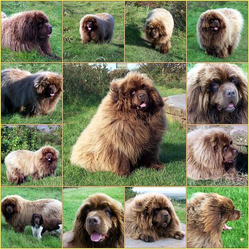 Newfoundland Dog - Kramer