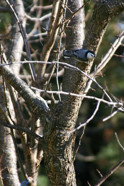 Nuthatch on Plum Tree