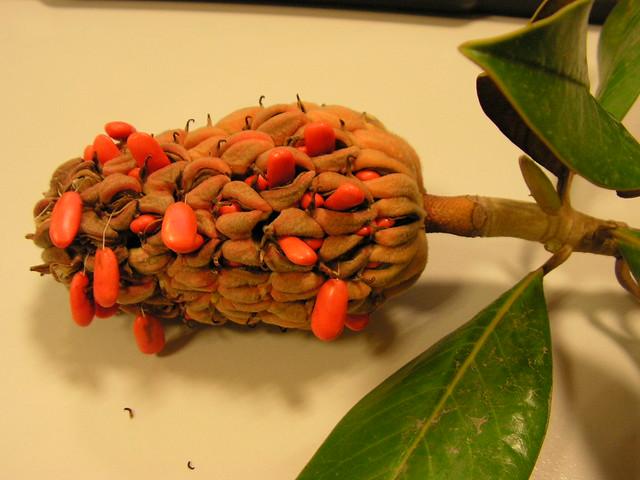 2087060278 38646f695c - Magnolia planta cuidados ...