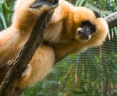 gibbon, animal, monkey, zoo, mammal, fauna, old world monkey, new world monkey,