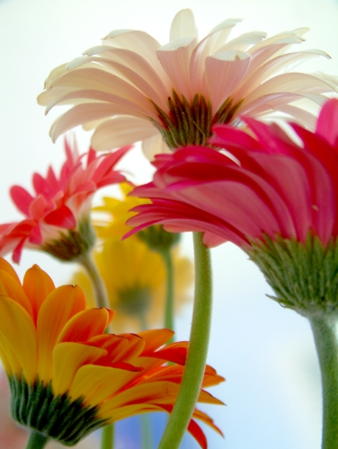 colorful daisies by _poseidon_