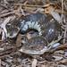 Shingleback Lizard - Photo (c) Nuytsia@Tas, some rights reserved (CC BY-NC-SA)