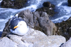 Sea gull in Monterey