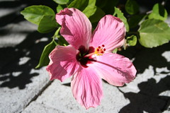blossom(0.0), garden cosmos(0.0), malva(0.0), annual plant(1.0), flower(1.0), leaf(1.0), plant(1.0), malvales(1.0), macro photography(1.0), flora(1.0), close-up(1.0), hibiscus(1.0), pink(1.0), petal(1.0),