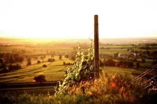 sunset sun colors evening nikon warm vine vineyards lensflare flare gras nikkor f18 18 settingsun d90 nikond90 nikongraphy