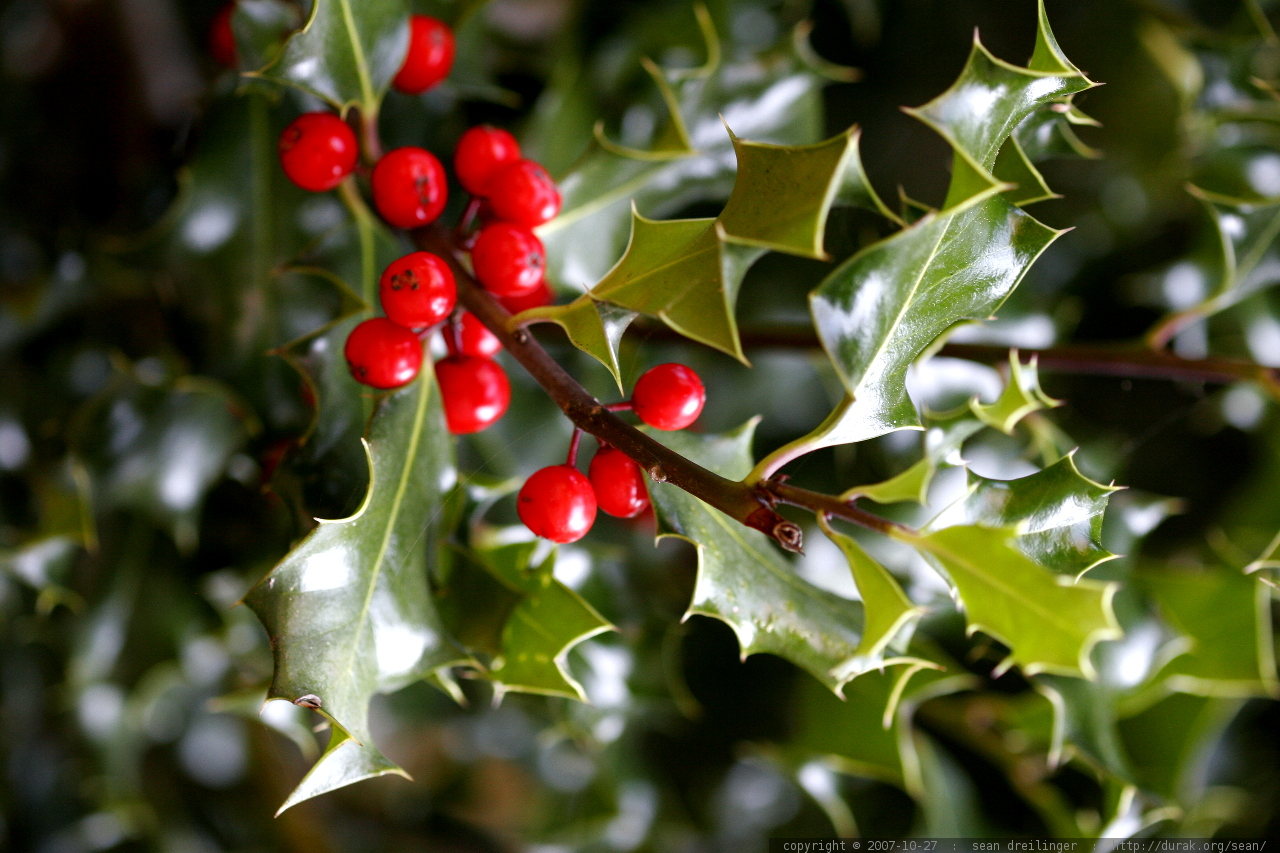 Photo Holly Leaves And Holly Berries Mg 5338 By