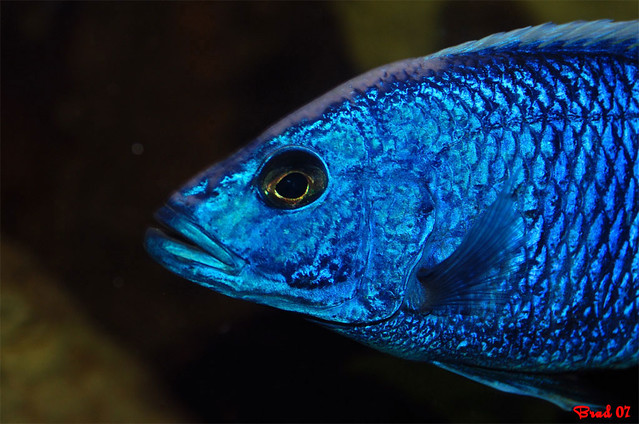 Cichlid - Electric Blue
