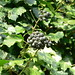 Small photo of Hedera