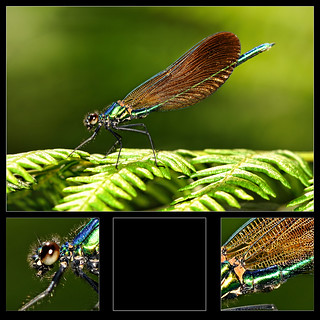 Broad-winged damselfly  [Prachtlibelle]