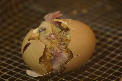 hatching