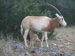 Nursing Baby Oryx