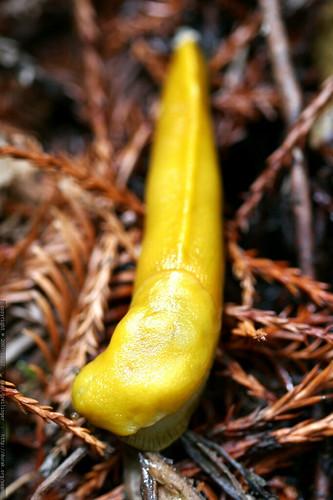 banana slug    MG 7995