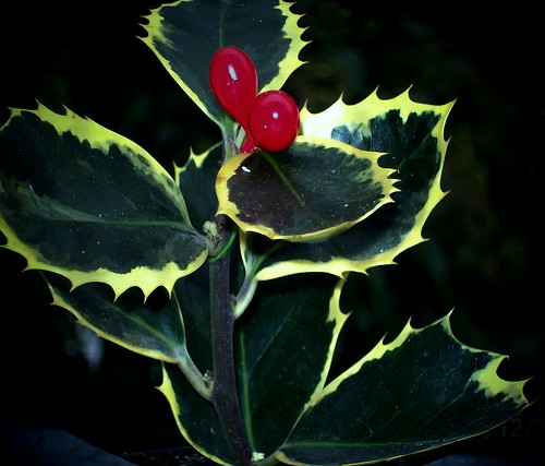 red green yellow -  holly (flower)  greetings around the world