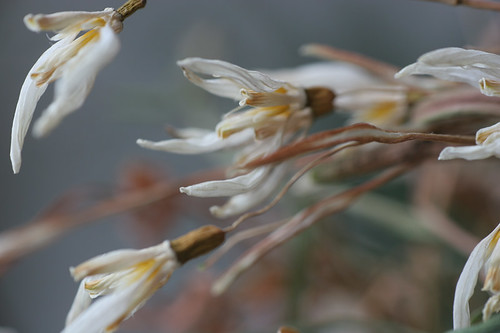 Dried Snowdrops ...